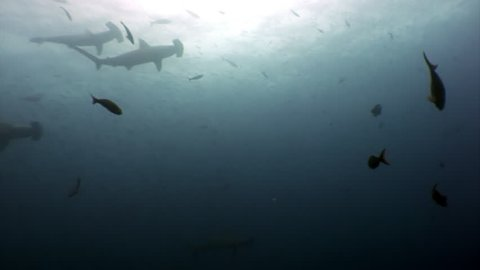 Bottom view of Hammerhead shark underwater in ocean Galapagos. Amazing life of tropical nature world in blue water. Scuba diving and dangerous extreme tourism.