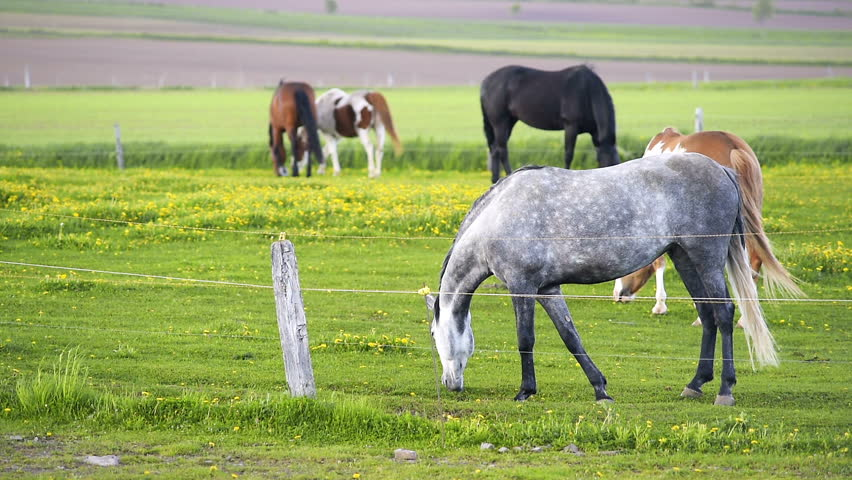 Many grey, brown, white horses grazing, playing, fighting on farm field pasture, green grass, yellow dandelion flowers in enclosure fence paddock at Ile D'Orleans, Quebec, Canada