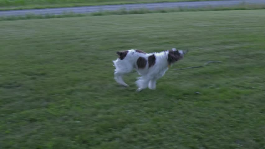 A Springer Spaniel fetching a small stick and then laying down with it.