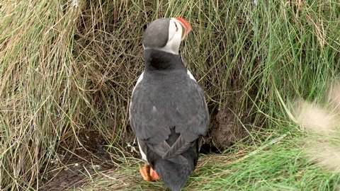 A puffin chick go out of his nest in slowmotion