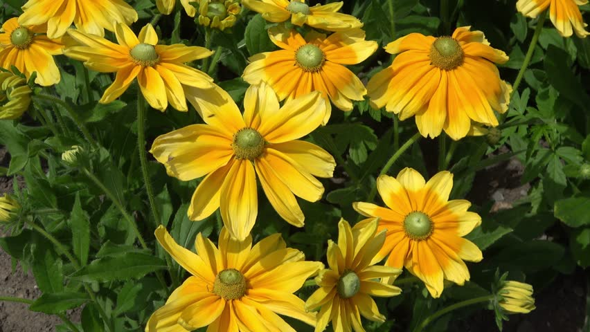 Black-eyed Susan flowers also known as Rudbeckia hirta