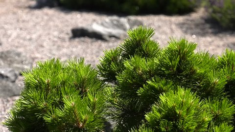 Green young shoots of larch.