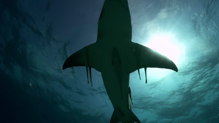 Lemon sharks approach and pass close to the camera in clear blue water in the Bahamas during a shark feeding, shark diving expedition. Shot in 50p for perfect slow motion. Backlight shot against the s