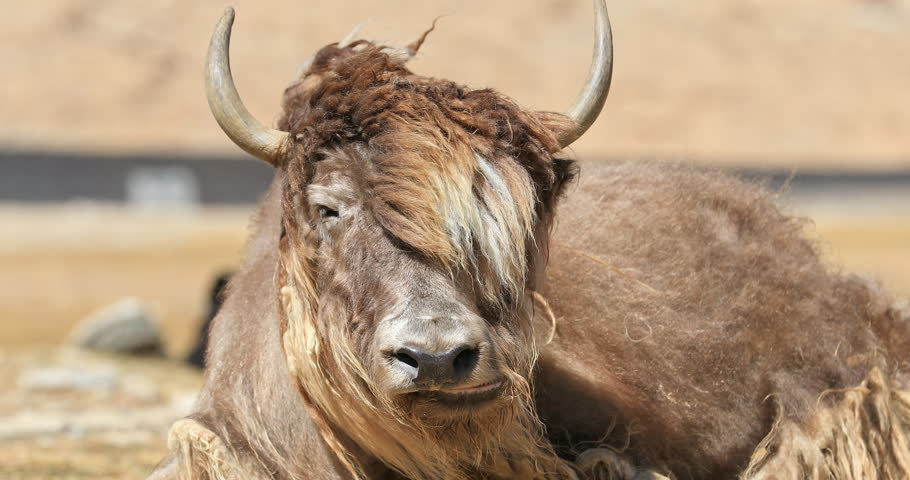 Portrait of Himalayan Yak. Livestock and traditional cattle farms of Ladakh agriculture