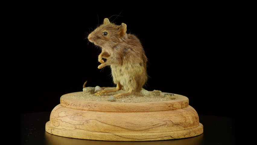 Mouse taxidermy rotating, isolated against black background