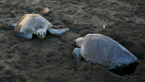 Atlantic ridley sea turtles spawning on a tropical beach. The Kemp's ridley sea turtle is the rarest species of sea turtle and is critically endangered.