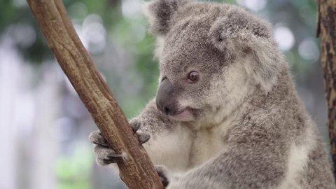 Koala bear scratching his head in an eucalyptus tree