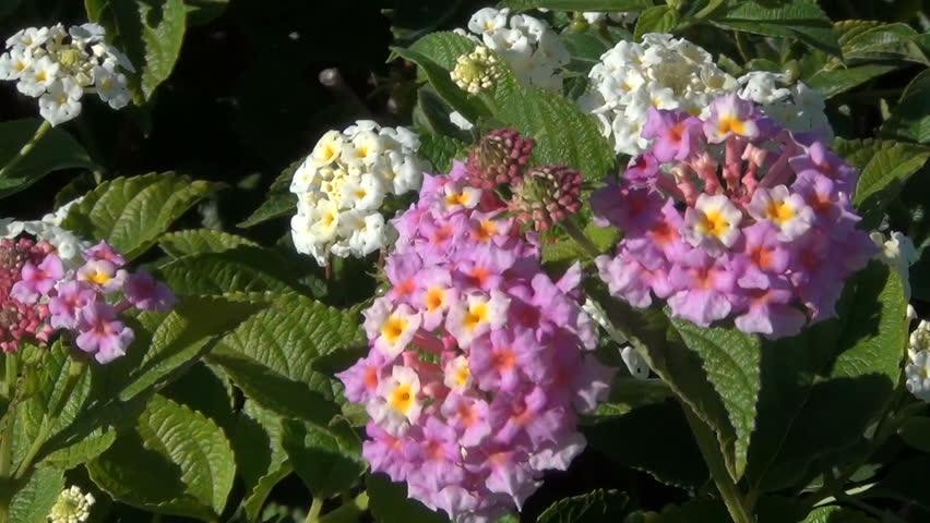 Colored Lantana Camara flowers in the wind.