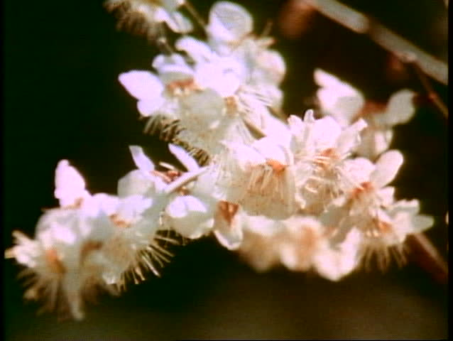 TOKYO, JAPAN, 1982, Cherry Blossoms in bloom in Japan, medium close up | Shutterstock HD Video #1014462947