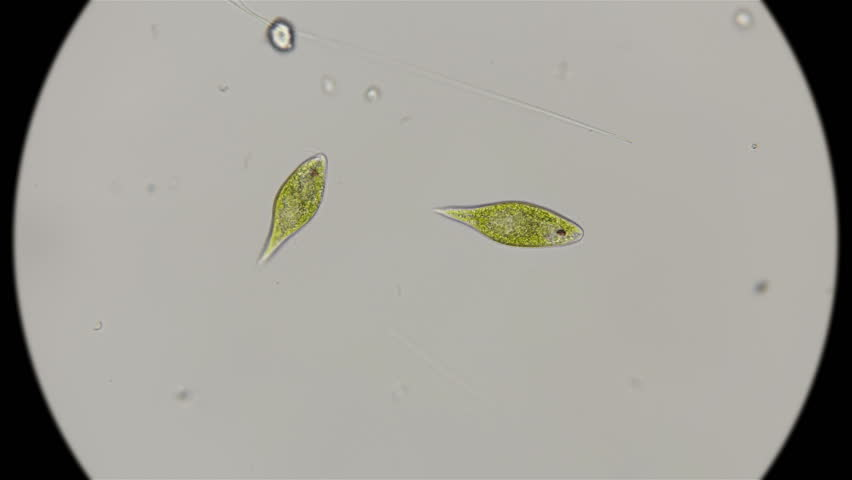 the movement of the protozoa Euglena viridis, under the microscope