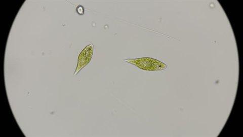 the movement of the protozoa Euglena viridis, under the microscope