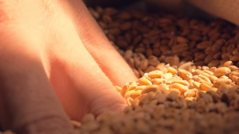 Granary. Man inspects quality of unpeeled wheat grains. Flour production. Small ray of sunlight and a lot of dust