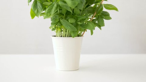 healthy eating, gardening and organic concept - green basil herb with name plate in pot on table