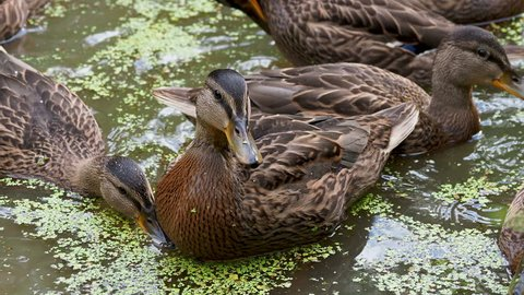Flock of brown colored ducks swimming in pond. Birds are looking for food in the water overgrown with duckweed.