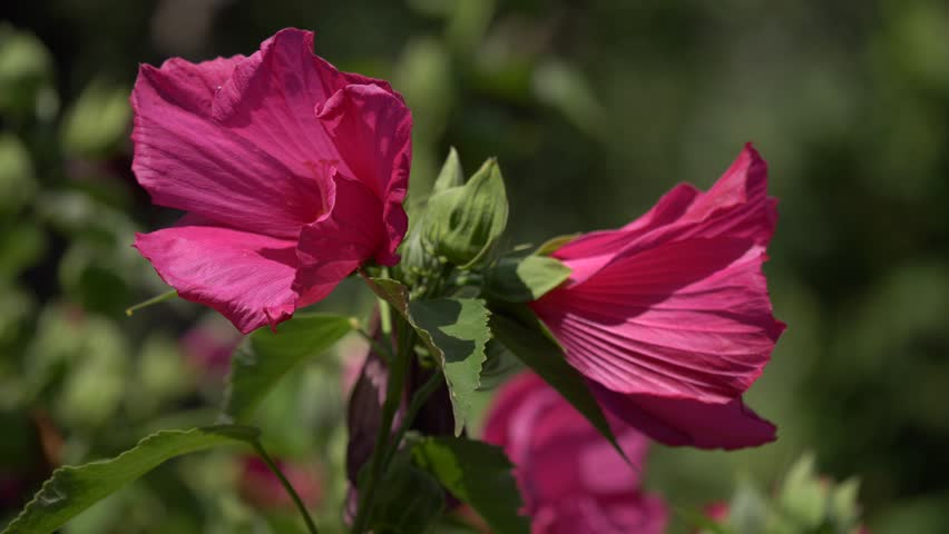 4k0020close Up Of Two Swamp Rose Mallow Flowers Hibiscus
