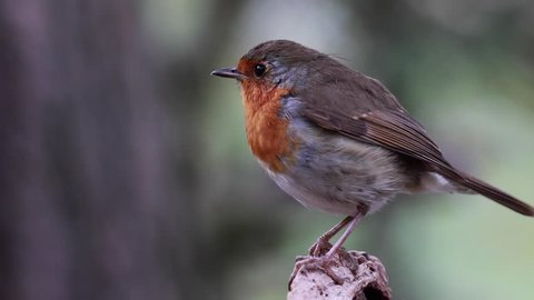 Robin bird, Erithacus rubecula, perched on a pine tree branch during july in scotland.