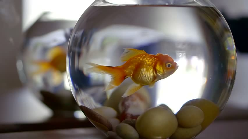 Adult Goldfish Close Up Breathing, Slow Motion Underwater Shot In Home Aquarium