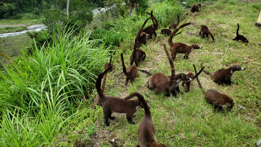 Colony of Cute Coati (Nasua) looking for food in the jungle in Panama