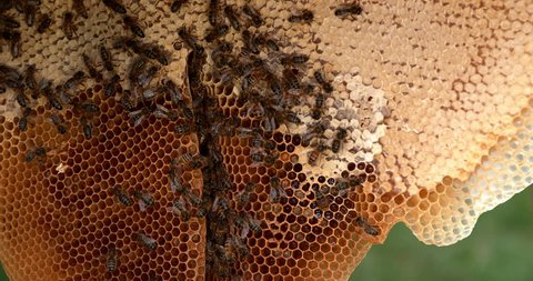 European Honey Bee, apis mellifera, Black Bees on a wild Ray, Alveolus filled with Honey, Bee Hive in Normandy, Real Time 4K