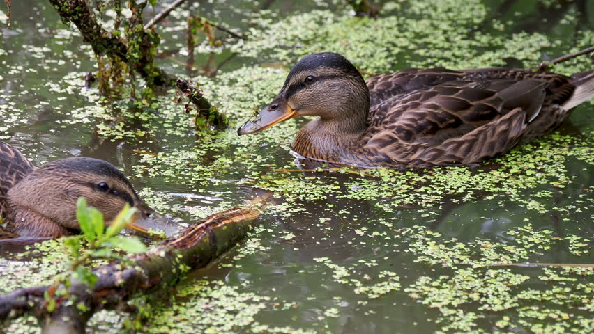 Pair of brown colored ducks swimming in pond. Birds are looking for food in the water overgrown with duckweed.
