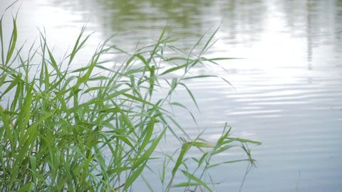 a beautiful bulrush, reed swayed by the wind on the lake, pond, in sunrise time.