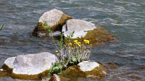 Tussilago farfara or coltsfoot flowers on stones in the river Vydriha near village Belovo in Novosibirsk region, Siberia, Russia
