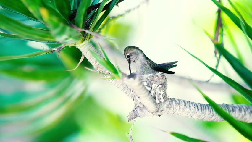 Humming Bird landing in her nest. | Shutterstock HD Video #1014727937