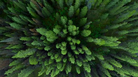 Nature top-down aerial view, flying over lush pine tree forest in Banff National Park during summer in Alberta, Canada.