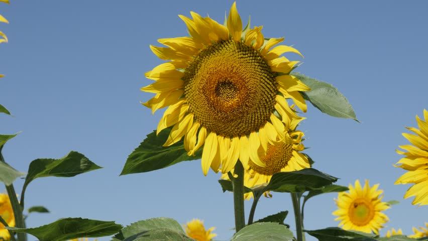 Swinging of sunflower (Helianthus annuus) plant heads 4K video