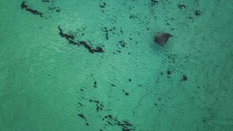 Eagle Ray swimming off the beach in clear water