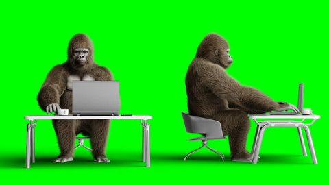 Funny brown gorilla works behind a computer. Super realistic fur and hair. Green screen 4K animation.