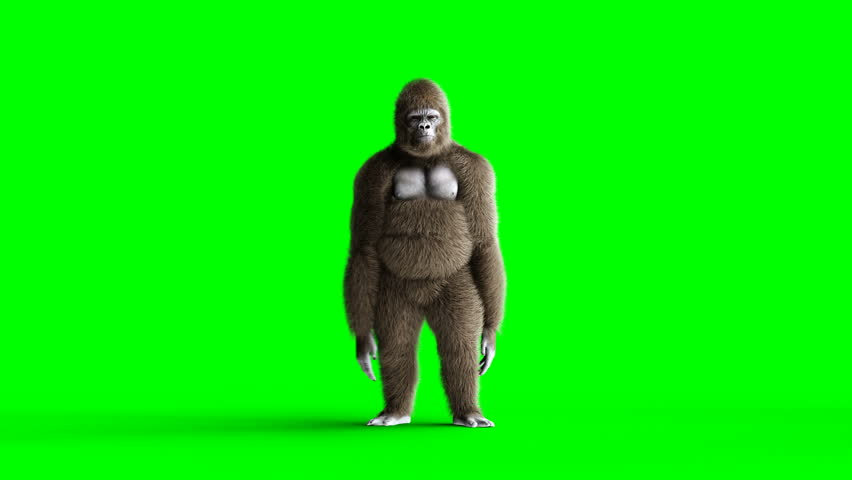 Funny brown gorilla dancing. Super realistic fur and hair. Green screen 4K animation.