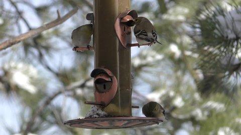 Goldfinch Several Eating in Winter Birdfeeder Feeder Thistle Niger Seed in South Dakota