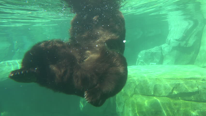 Grizzly Bear Adult Lone Swimming