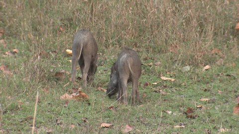 Wild Boar Pair Eating in Spring Pig Wagging Tails in India
