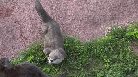 River Otter Adult Pair Otters Playing Play in Summer Wrestling Rolling Frolicking