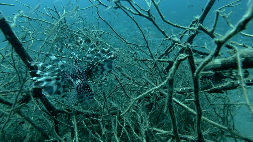 Two Red Lionfish fish prey on fry in the branches of mangroves (Underwater shot, 4K / 60fps)
