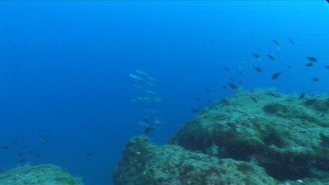 barracuda fish underwater around scuba divers on reef