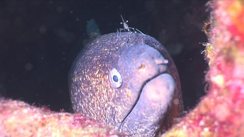 moray eel with a cleaner shrimp underwater scenery