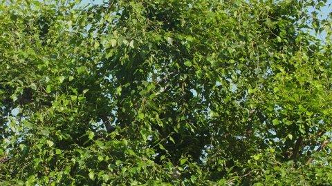 Tree leaves rustling in the wind, slow pan left