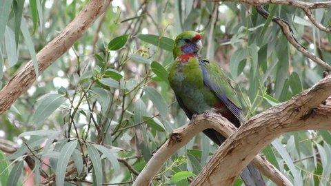 Crimson Rosella Immature Juvenile Lone Perched in Australia