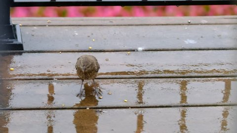 Finch eating seeds on rainy deck