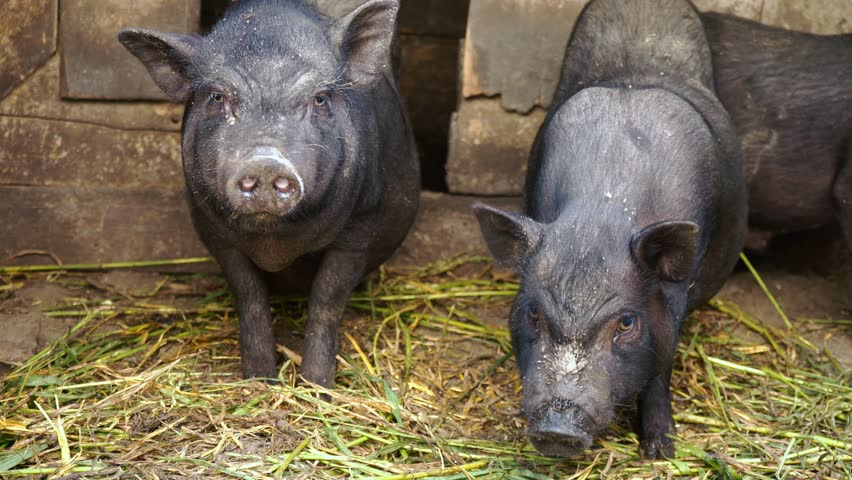Black Vietnamese pigs in a cage on a farm