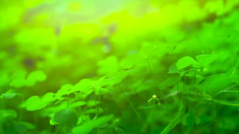 Shamrock. St. Patrick's Day green leaves background. Patrick Day backdrop with growing shamrock leaves close-up. Patrick Day pub party. Slow motion 4K UHD video