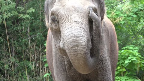 Asian Elephant Lone Face Trunk Tusks