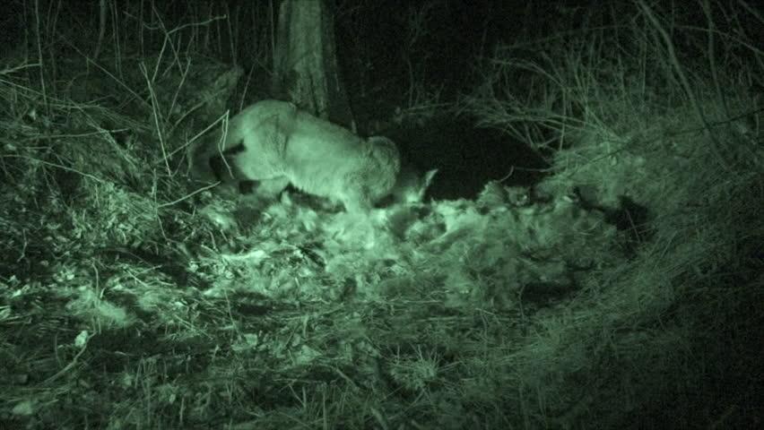 Mountain Lion Adult Lone Eating in Fall Kill Predation in South Dakota