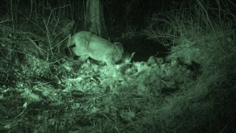 Mountain Lion Adult Lone Eating in Fall Kill Predation in South Dakota