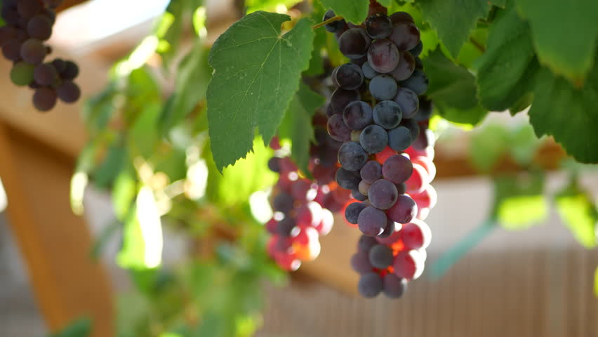 Purple grapes on vine hanging from trellis in garden, with sunlight coming through. | Shutterstock HD Video #1015076917