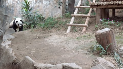 Giant panda walk around the aviary in Chiang Mai Zoo