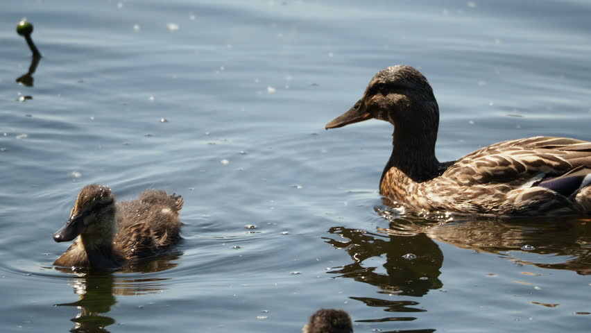 Flock of brown colored ducklings swimming in river. Birds are looking for food in water. #1015131157